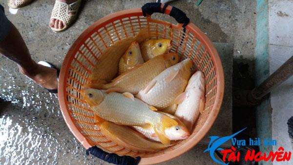 Cá chép giòn được phân phối tại Vựa Hải Sản Tài Nguyên