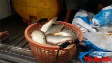 Nuôi cá chép giòn ở miền Tây
