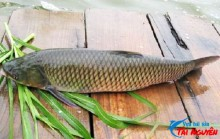 Quy trình nuôi cá trắm giòn trong ao lồng